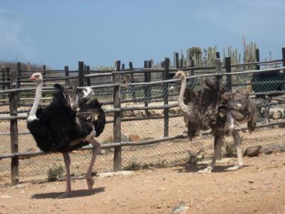 ostrich_farm