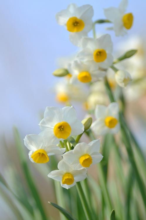Your Spring Wedding Flower: The Narcissi